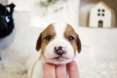 ジャックラッセルテリアの子犬(ID:1255411466)の2枚目の写真/更新日:2018-12-30