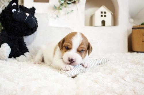 ジャックラッセルテリアの子犬(ID:1255411466)の3枚目の写真/更新日:2018-12-30