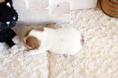 ジャックラッセルテリアの子犬(ID:1255411466)の5枚目の写真/更新日:2020-09-26