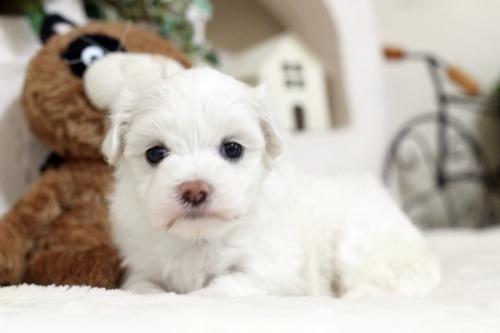 マルチーズの子犬(ID:1255411467)の1枚目の写真/更新日:2019-03-06