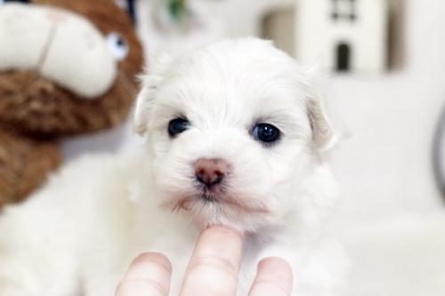 マルチーズの子犬(ID:1255411467)の2枚目の写真/更新日:2019-03-06