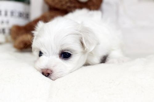 マルチーズの子犬(ID:1255411467)の3枚目の写真/更新日:2019-03-06
