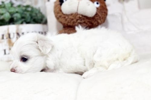 マルチーズの子犬(ID:1255411467)の4枚目の写真/更新日:2019-03-06