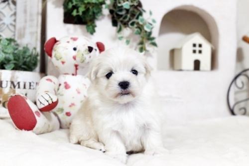 マルチーズの子犬(ID:1255411468)の1枚目の写真/更新日:2019-03-06