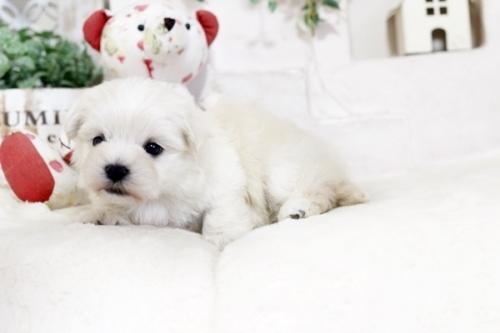 マルチーズの子犬(ID:1255411468)の2枚目の写真/更新日:2019-03-06