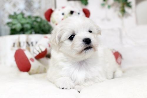 マルチーズの子犬(ID:1255411468)の3枚目の写真/更新日:2019-03-06