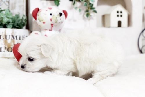 マルチーズの子犬(ID:1255411468)の4枚目の写真/更新日:2019-03-06