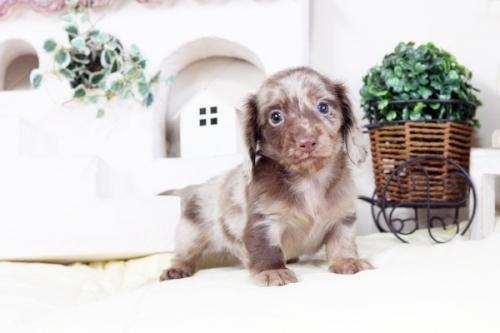 カニンヘンダックスフンド(ロング)の子犬(ID:1255411470)の1枚目の写真/更新日:2016-12-08