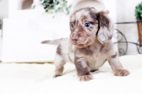 カニンヘンダックスフンド(ロング)の子犬(ID:1255411470)の2枚目の写真/更新日:2016-12-08