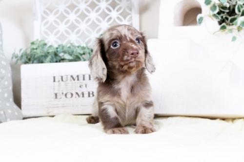 カニンヘンダックスフンド(ロング)の子犬(ID:1255411470)の3枚目の写真/更新日:2016-12-08