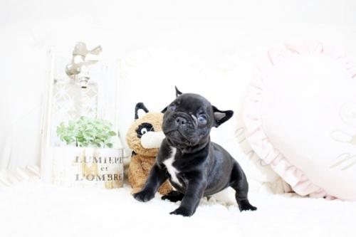 フレンチブルドッグの子犬(ID:1255411472)の1枚目の写真/更新日:2021-04-23