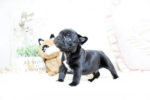 フレンチブルドッグの子犬(ID:1255411472)の3枚目の写真/更新日:2021-04-23