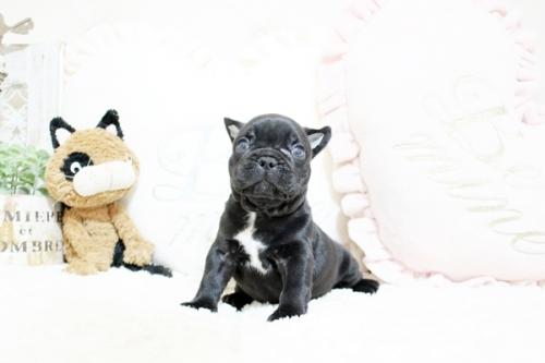 フレンチブルドッグの子犬(ID:1255411472)の4枚目の写真/更新日:2021-04-23