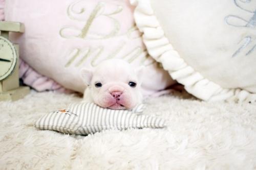 フレンチブルドッグの子犬(ID:1255411473)の1枚目の写真/更新日:2020-06-08