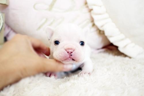 フレンチブルドッグの子犬(ID:1255411473)の2枚目の写真/更新日:2020-06-08