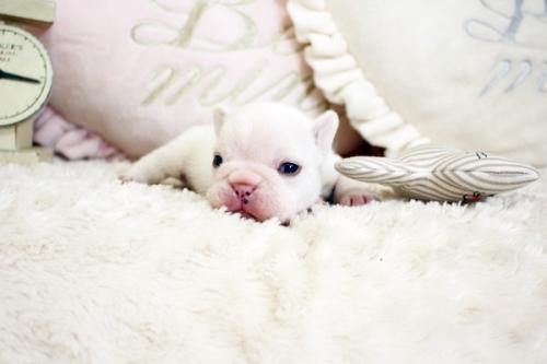 フレンチブルドッグの子犬(ID:1255411473)の4枚目の写真/更新日:2021-04-02