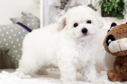 トイプードルの子犬(ID:1255411474)の1枚目の写真/更新日:2018-08-02