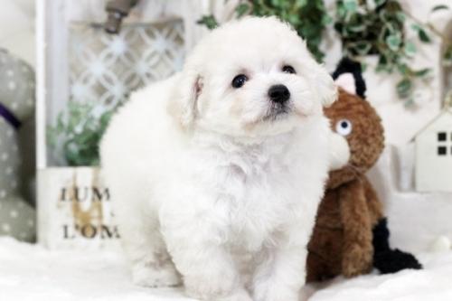 トイプードルの子犬(ID:1255411474)の2枚目の写真/更新日:2018-08-02