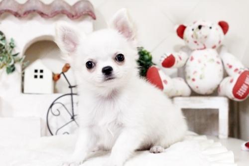 チワワ(ロング)の子犬(ID:1255411476)の1枚目の写真/更新日:2016-11-24