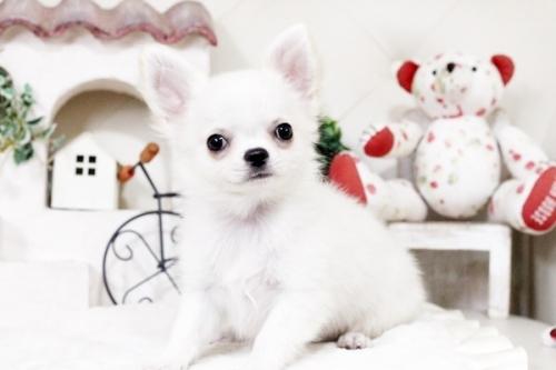 チワワ(ロング)の子犬(ID:1255411476)の2枚目の写真/更新日:2016-11-24
