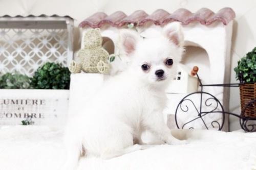 チワワ(ロング)の子犬(ID:1255411476)の3枚目の写真/更新日:2016-11-24