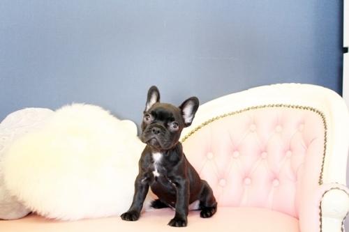 フレンチブルドッグの子犬(ID:1255411479)の1枚目の写真/更新日:2021-04-29