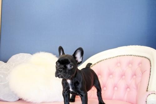 フレンチブルドッグの子犬(ID:1255411479)の2枚目の写真/更新日:2021-04-29