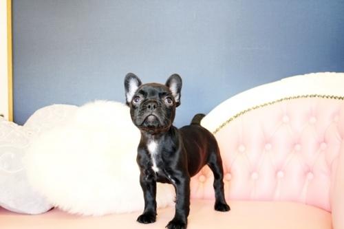 フレンチブルドッグの子犬(ID:1255411479)の3枚目の写真/更新日:2021-04-29