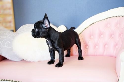 フレンチブルドッグの子犬(ID:1255411479)の4枚目の写真/更新日:2021-04-29