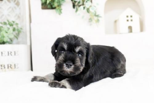 ミニチュアシュナウザーの子犬(ID:1255411484)の1枚目の写真/更新日:2019-02-08