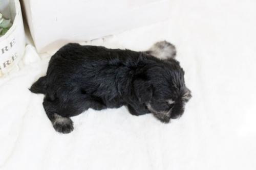 ミニチュアシュナウザーの子犬(ID:1255411484)の4枚目の写真/更新日:2019-02-08