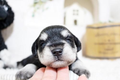 ミニチュアシュナウザーの子犬(ID:1255411486)の3枚目の写真/更新日:2018-12-20
