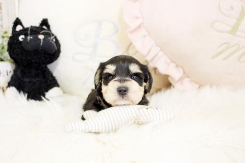 ミニチュアシュナウザーの子犬(ID:1255411487)の1枚目の写真/更新日:2018-12-20