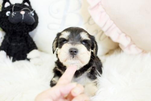 ミニチュアシュナウザーの子犬(ID:1255411487)の2枚目の写真/更新日:2018-12-20