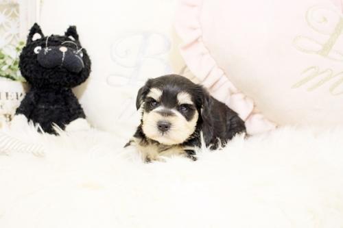 ミニチュアシュナウザーの子犬(ID:1255411487)の3枚目の写真/更新日:2018-12-20