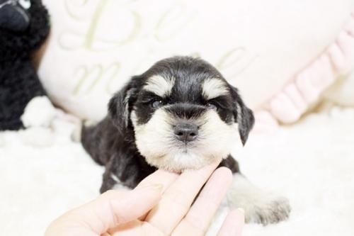 ミニチュアシュナウザーの子犬(ID:1255411490)の2枚目の写真/更新日:2018-12-20