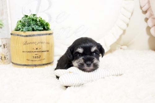 ミニチュアシュナウザーの子犬(ID:1255411491)の1枚目の写真/更新日:2018-12-20