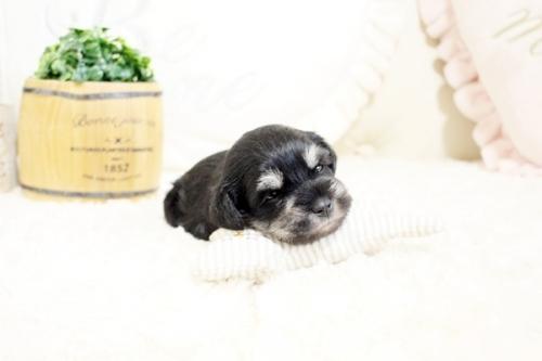 ミニチュアシュナウザーの子犬(ID:1255411491)の2枚目の写真/更新日:2018-12-20