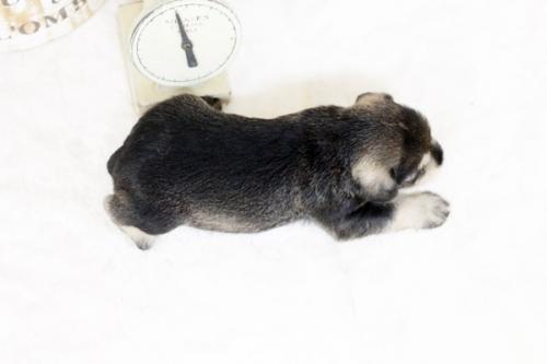 ミニチュアシュナウザーの子犬(ID:1255411492)の3枚目の写真/更新日:2018-12-20