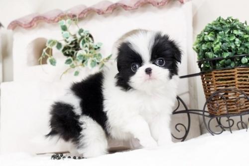狆(チン)の子犬(ID:1255411496)の1枚目の写真/更新日:2017-01-05