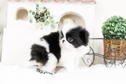 狆(チン)の子犬(ID:1255411496)の2枚目の写真/更新日:2017-01-05
