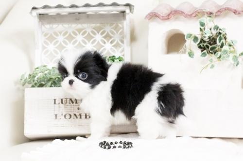 狆(チン)の子犬(ID:1255411496)の3枚目の写真/更新日:2017-01-05