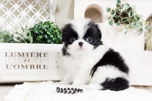 狆(チン)の子犬(ID:1255411496)の4枚目の写真/更新日:2017-01-05