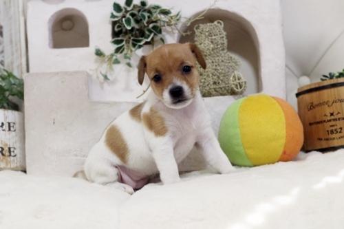 ジャックラッセルテリアの子犬(ID:1255411499)の1枚目の写真/更新日:2018-11-09