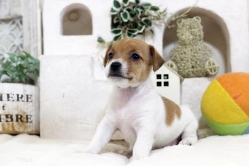 ジャックラッセルテリアの子犬(ID:1255411499)の2枚目の写真/更新日:2018-11-09