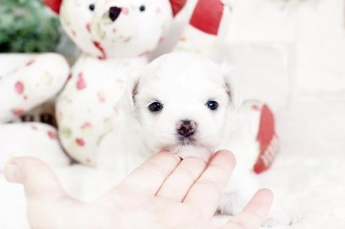 マルチーズの子犬(ID:1255411500)の1枚目の写真/更新日:2019-05-17