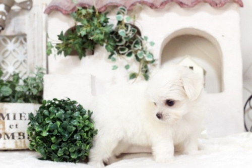 マルチーズの子犬(ID:1255411501)の2枚目の写真/更新日:2019-09-24