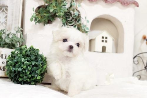マルチーズの子犬(ID:1255411501)の3枚目の写真/更新日:2019-09-24
