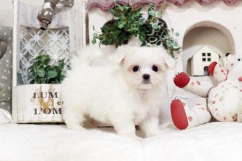 マルチーズの子犬(ID:1255411502)の1枚目の写真/更新日:2019-09-24