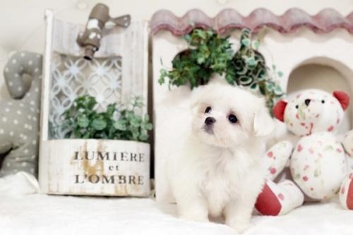 マルチーズの子犬(ID:1255411502)の3枚目の写真/更新日:2019-09-24